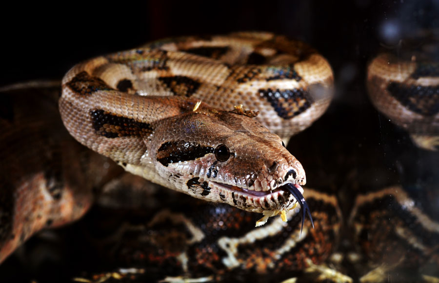 What do you do when your tenant adopts a Boa Constrictor as a pet?